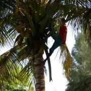 Noix de coco du trarza