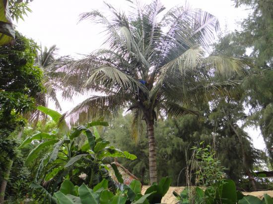 cocotier au trarza