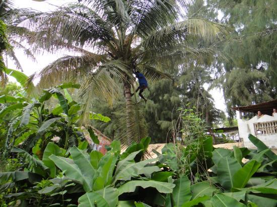 cocotier azu trarza